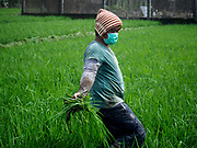 30 JANUARY 2018 - GUINOBATAN, ALBAY, PHILIPPINES:  A farmworker in Guinobatan works in a rice field during an ash fall from the Mayon volcano.  The volcano continued to erupt but not as dramatically as it did last week. The small eruptions are still sending ash clouds over communities west of the volcano and the government is encouraging people to stay indoors, wear face masks and avoid strenuous activities when ash is falling.    PHOTO BY JACK KURTZ