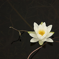 White water lily in a dark pond<br />