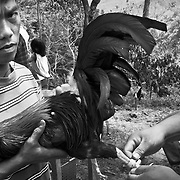 Cockfighting in Philippines