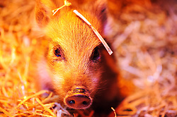 © Licensed to London News Pictures. 15/05/2013 London, UK. Four week old Wild Boar piglet Dotty sits under a heat lamp at Whipsnade Zoo, Beds. Dotty and her triplet sisters, Gertie and Hettie are being hand-reared by surrogate keepers at the wild animal park..Photo credit : Simon Jacobs/LNP