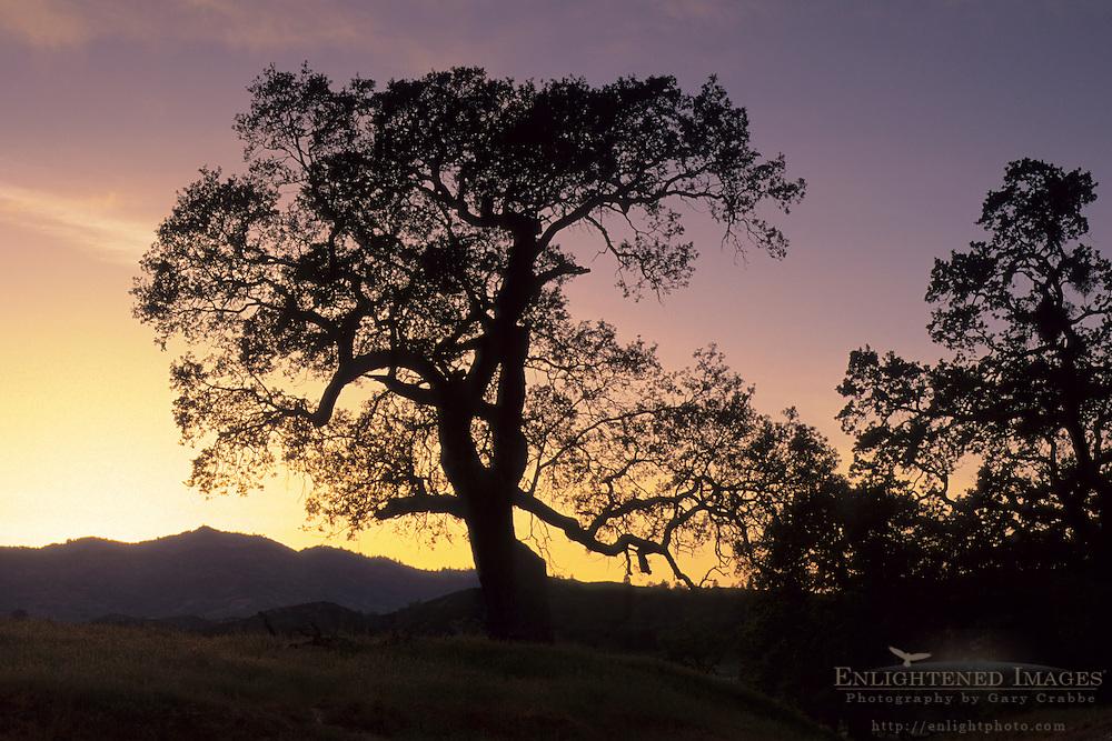 Sunset behing oak tree, Isabel Valley, Santa Clara County, California