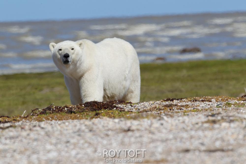 Adult female polar bear (Ursus maritimus), Nanuk, Hudson Bay, Manitoba, Canada