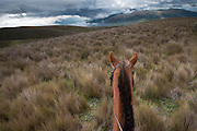 Horseback riding in Ecuador's high altitude grasslands known as the Paramo.