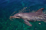 Bottlenose dolfin, Hawaii<br />