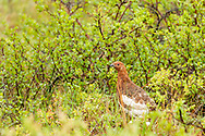 Willow Ptarmigan (Lagopus lagopus) foraging among willows outside of Nome on the Seward Peninsula in Northwest Alaska. Spring. Morning.
