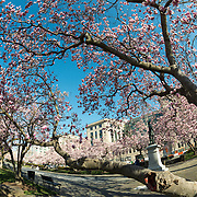 Tulip Magnolias in spring bloom in Rawlins Park in northwest Washington DC. The statue from which the park gets its name is of Major General John A. Rawlins, advisor to Ulysses S. Grant.
