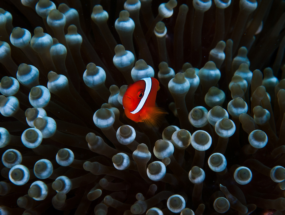 Tomato Anemonefish. In the Philippines, muck divers head straight to Dauin to begin the hunt. It is considered one of the premier muck diving locations on the planet. On a bad day at Dauin, you can spot more rare animals than a decade out on the reef...