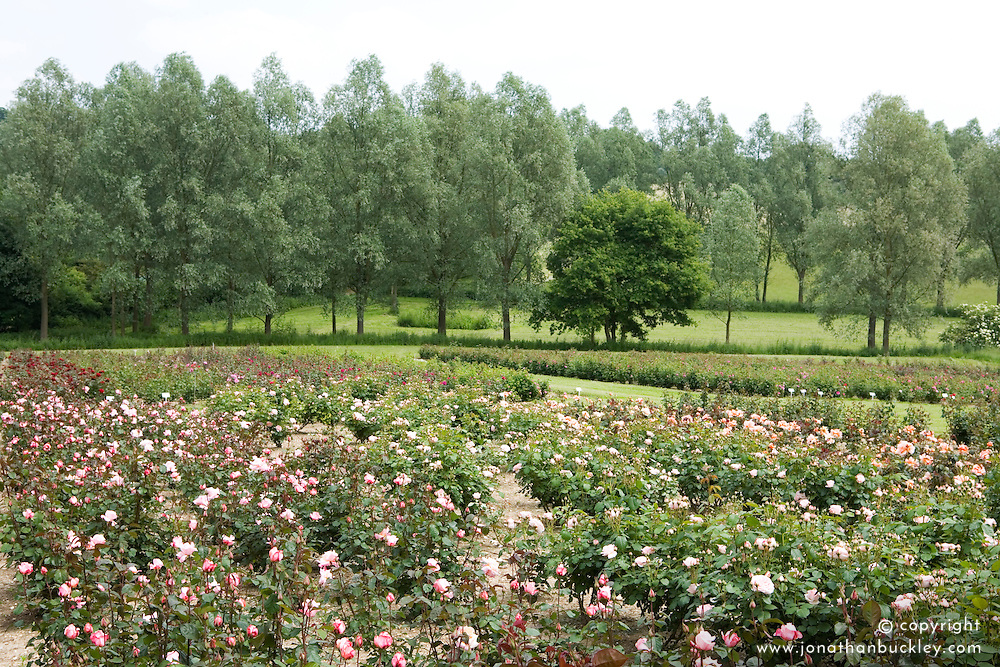 Field of roses growing at Country Roses, Essex