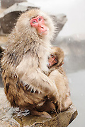 JAPAN, Jigokudani Yaen-koen, Nagano (Honshu).Snow monkey (Macaca fuscata) nursing her baby