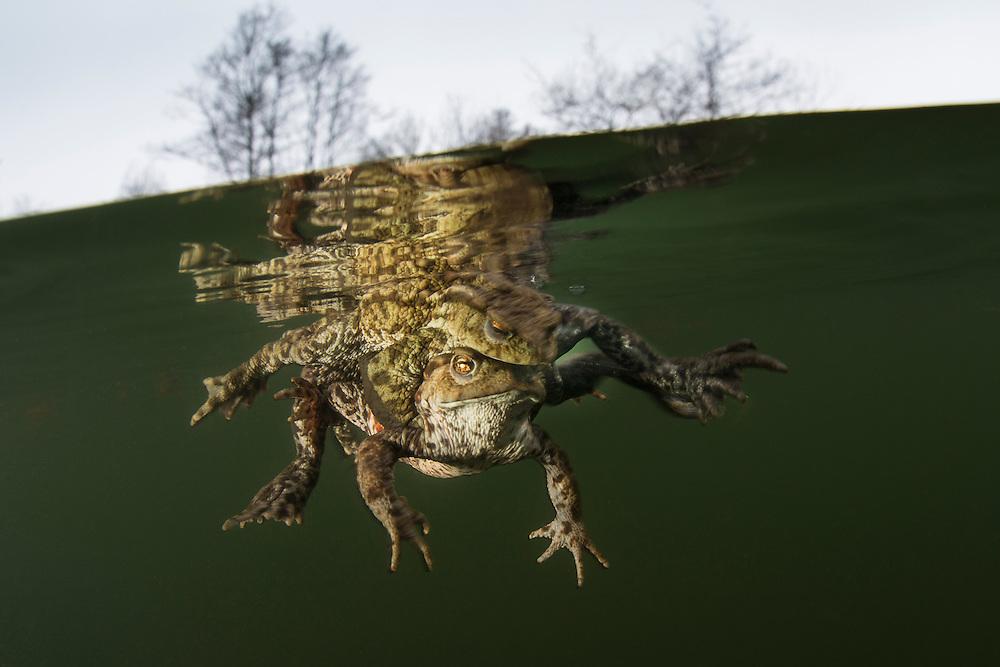 Mating common toad (Bufo bufo), amplexus. Vanlig padda.<br /> Location: Billebj&auml;r, Sk&aring;ne, Sweden