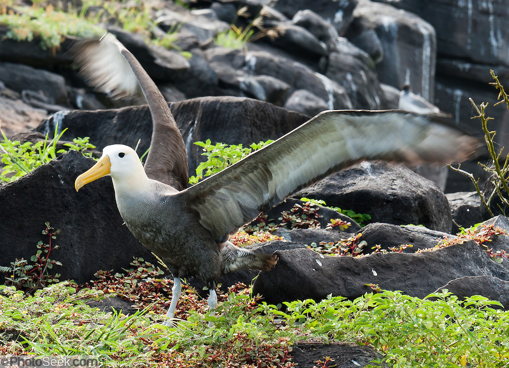 A Waved Albatross (Phoebastria irrorata; or Galapagos Albatross) flaps wings at Suaraz Point, a wet landing on Española (Hood) Island, the oldest of the Galapagos Islands, which are a province of Ecuador, South America.  The Waved Albatross is the only tropical member of the Albatross family (Diomedeidae). During the non-breeding season, Waved Albatross mostly reside in the coastal areas of Ecuador and Peru. The Waved Albatross breeds primarily on Española Island in the Galápagos archipelago (and maybe some on Genovesa Island and Isla de la Plata). Waved Albatross have blue feet and distinctively yellowish-cream neck and head, which contrasts with their mostly brownish bodies. The very long, bright yellow bill looks disproportionately large in comparison to the relatively small head and long, slender neck. They have chestnut brown upper parts and underparts, except for the breast, with fine barring, a little coarser on the rump. They have brown upper-wings, back, and tail, along with a whitish breast and underwings. Their axillaries (armpit feathers) are brown. Chicks have brown fluffy feathers. Juveniles are similar to adults except for more white on their head. Their lifespan may reach 40 to 45 years. Diomedeidae (the Albatross family) come from the Procellariiformes order (along with Shearwaters, Fulmars, Storm-petrels, and Diving-petrels).