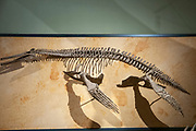 Dolichorhynchops Fossil AKA Torpedo of the Sea.  Dolichorhynchops is an extinct genus of polycotylid plesiosaur from the Late Cretaceous (early Turonian to late Campanian stage) of North America. Photographed at the Natural History Museum, Vienna, Austria