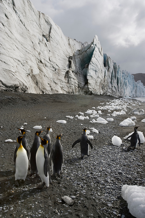 Antarctica, South Georgia Island (UK), King Penguins (Aptenodytes patagonicus) on beach scattered with small icebergs from nearby tidewater glacier along Fortuna Bay