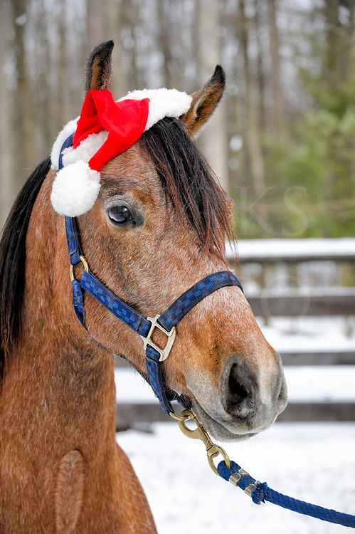 This festive Arabian filly is making as a Christmas horse wearing Santa hat for for the yuletide holiday outside in her snowy corral.