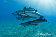 pod of Hawaiian spinner dolphins or long-snouted spinner dolphins, or Gray's spinner dolphins, Stenella longirostris longirostris, resting and socializing, Hookena, Kona, Hawaii ( the Big Island ) Central Pacific Ocean MR 410