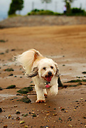 Little Fluffy White Dog Walking on the Beach