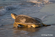 Australian flatback sea turtle, Natator depressus, female returns to ocean after nesting, Crab Island, off Cape York Peninsula, Torres Strait, Queensland, Australia