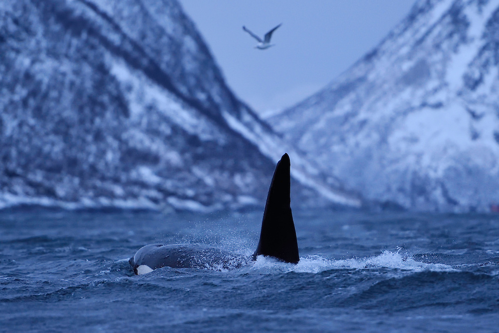 Orca, or Killer whale, Orcinus orca, and Herring gull, Larus argentatus, Senja, Troms county, Norway, Scandinavia