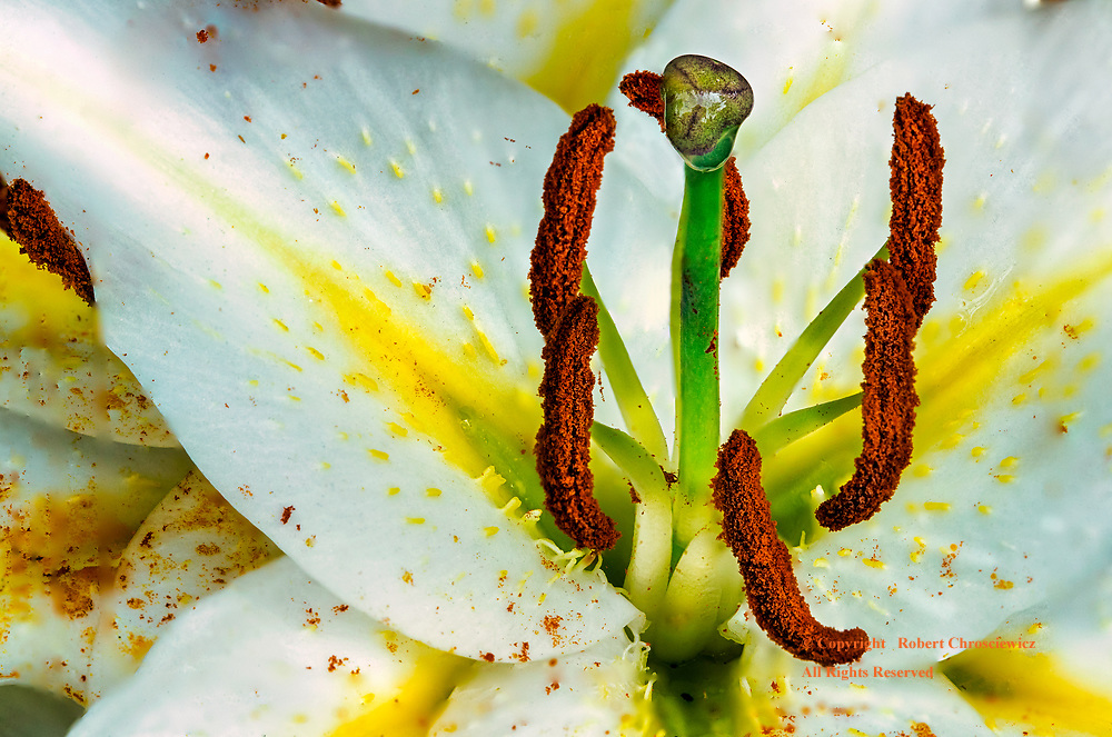 Sexy Lily: A fabulous macro view of a white lily is made using 6 photographs, in a technique called photo-stacking, shows the sexy smooth, sturdy green styles and stigma, as well as the light and fluffy brown anthers, in Minter Gardens, Rosedale British Columbia Canada.