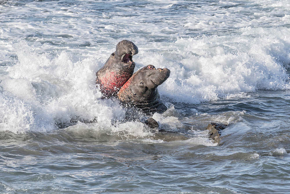 Northern Elephant Seal - Mirounga angustirostris - males fighting