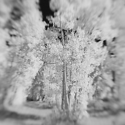North Lake Road Aspens - Lensbaby - Infrared Black & White