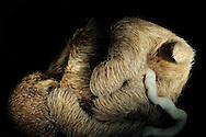 Fetus of a pale-throated sloth, Bradypus tridactylus, about 14 cm long, shortly before birth, 6-7 months gestation, umbilical cord clearly visible, Hubrecht collection, Berlin Museum of Natural History..Foetus eines Weisskehl-Faultiers, Bradypus tridactylus, ca. 14 cm lang, kurz vor der Geburt, Tragzeit 6-7 Monate, Nabelschnur deutlich sichtbar, Hubrecht Sammlung, Museum fuer Naturkunde Berlin
