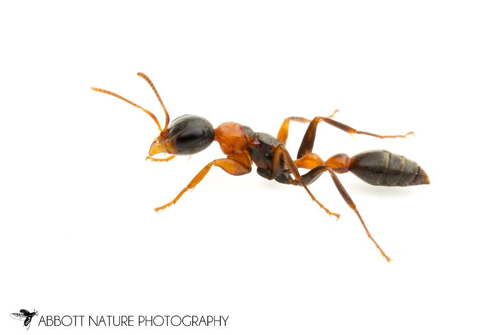 Ant (Pseudomyrmex gracilis)<br /> TEXAS: Travis Co.<br /> Brackenridge Field Laboratory; Austin<br /> 8-Nov-2012<br /> J.C. Abbott