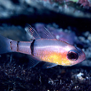 Belted Cardinalfish hide during day in dard recesses in reefs, often form loose aggregations in caves in Tropical West Atlantic; picture taken Grand Cayman.