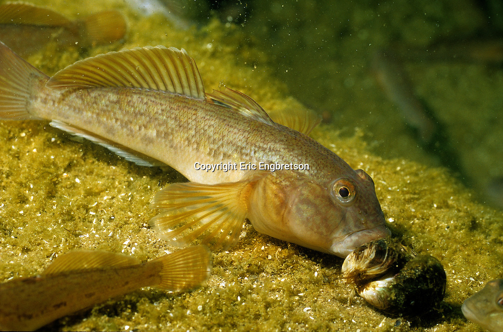 Round Goby eating Zebra Mussel<br />
