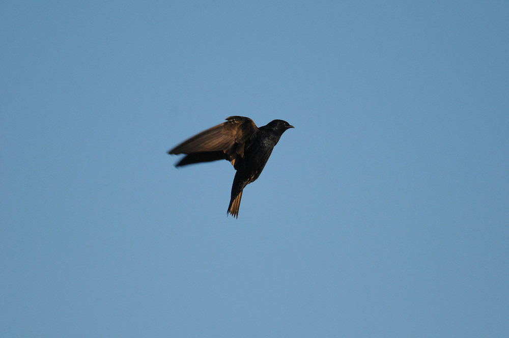 Purple Martin hovering in the sky at Montezuma NWR.