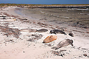 Southern elephant seals lie above the low tide mark on a remote Falkland Island beach