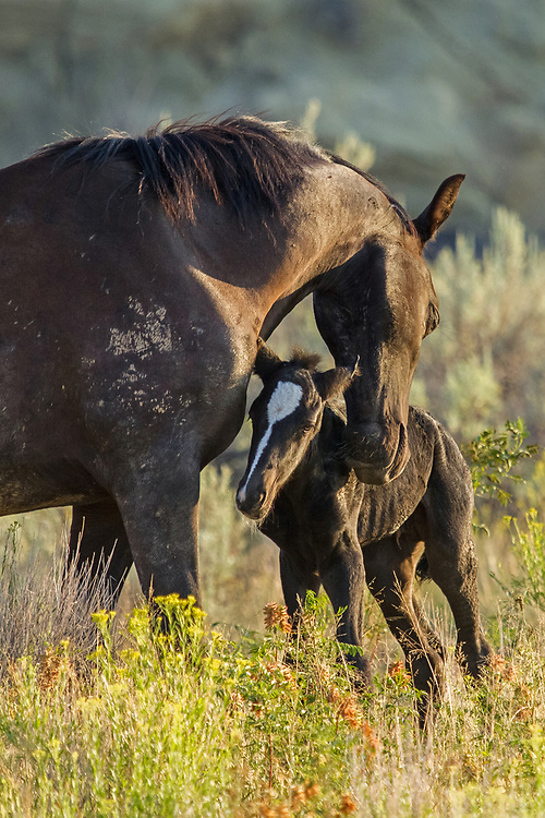 The mare, Lark, lovingly nuzzles her newborn colt, Lanza, as the sun begins to rise on McCullough Peaks.