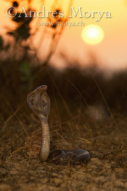 Black Indian Cobra (Naja naja), India Black Indian Cobra (Naja naja), India Image by Andres Morya