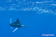 free swimming striped marlin, Kajikia audax, with dorsal fin raised to make a turn, Vava'u, Kingdom of Tonga, South Pacific