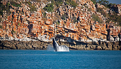 A humpback whale breaches off Wilson Point in Camden Sound on the Kimberley coast.