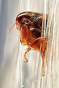 ([M] Z-Stack) Vogelfloh ( Ceratophyllus gallinae ) Siphonaptera (Flöhe) / Flea (Ceratophyllus gallinae)