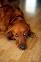 3 November 2007:  Three year old Golden Retriever male dog lays his head on the wood floor.  Dog has intense eyes and a calm behavior manner.
