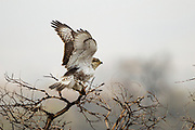 Stock photo of ferruginous hawk captured at Rocky Mountain Arsenal in Colorado.  Before the elimination of bison, their nests were made up of bison bones and wool.