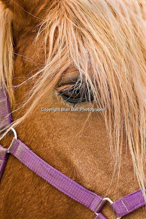 Belgian Horse in Claremore Oklahoma