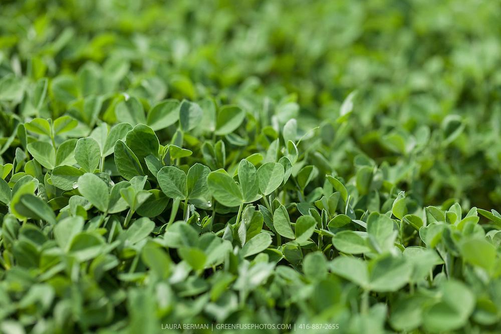 Edible Pea shoots or seedlings