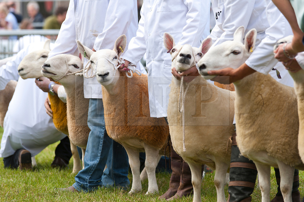 © Licensed to London News Pictures. 21/07/2015. Llanelwedd, UK. Defaid Cheviot sheep are exhibited  in the Sheep Ring on the second day of the show. The Royal Welsh Show is hailed as the largest & most prestigious event of it's kind in Europe. In excess of 200,000 visitors are expected this week over the four day show period - 2014 saw 237,694 visitors, 1,033 tradestands & a record 7,959 livestock exhibitors. The first ever show was at Aberystwyth in 1904 and attracted 442 livestock entries. Photo credit: Graham M. Lawrence/LNP