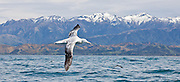 55x25cm print of a Wandering Albatross flying against the backdrop of snow-capped Kaikoura, New Zealand.