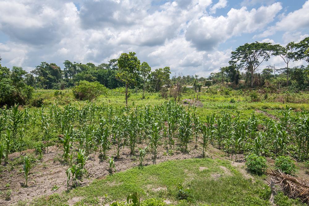 Corn Stalks (Zea mays) grow in Ganta, Liberia