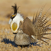 A male Gunnison sage-grouse puts on a display behind a female early in the morning during a springtime at Mill Creek Ranch in Gunnison, CO. Gunnison sage-grouse is now numbered about 2,500 birds found in Colorado and Utah.