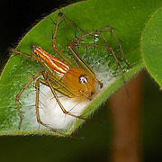 Burmese Lynx Spider, Oxyopes birmanicus, tending her egg sack.