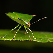 are a family of insects belonging to the order Hemiptera, which are generally called stink bugs or shield bugs