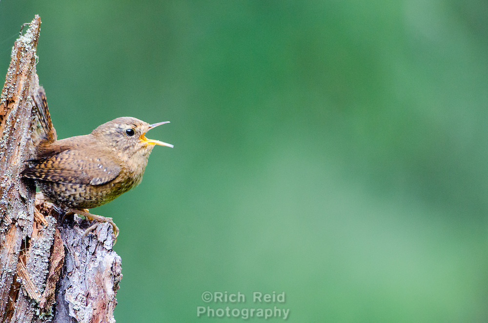 Pacific wren or Pacific wren singing from a log in Sitka, Alaska.