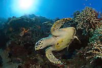 Hawksbill Turtle and Sunburst