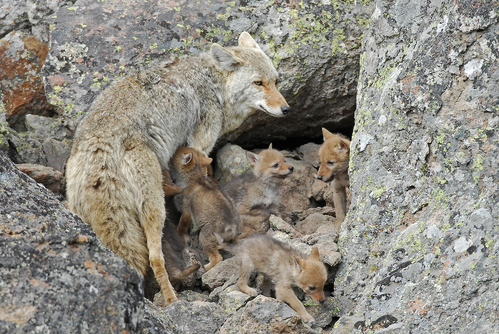 This mother coyote visits her young pups at the den. At six weeks, these pups are almost completely weaned but will stay with their mother for the next few months. In nine months, male pups will leave their mother, and female pups will stay with their mother indefinitely.