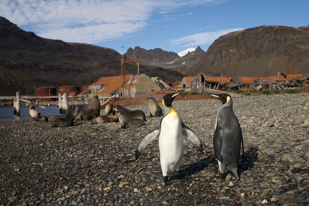Antarctica, South Georgia Island (UK), King Penguins (Aptenodytes patagonicus) standing along beach at abandoned Husvik whaling station along Stromness Bay